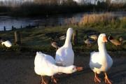 Duckpond just off Fairwood Lane