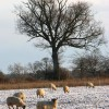 Sheep in frozen pasture