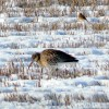 Curlew foraging in snowy stubble