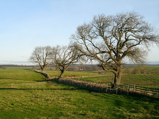 Ash trees north of Hill House Farm