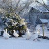 Geese In the snow at Kirkandrews on Eden