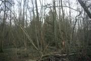 Alder Wood