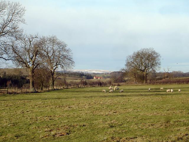 Sheep grazing near Cleatlam
