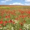 Poppy Field, Geasley