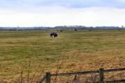 Horses grazing, fields at Hatton