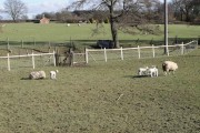 New born lambs at Redlands Farm, Horam, East Sussex.