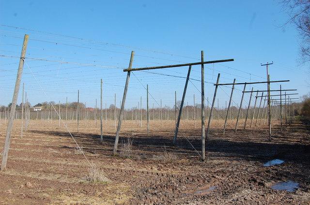 Hop field near Bosbury
