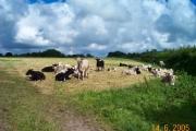 Moreleigh calves