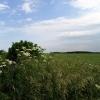 Wheat Growing on Farmland near Bibury