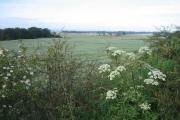 Oats growing near Carnock