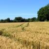 Wheat field at Cross Lanes