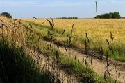 Barley Field near Coombe House Farm