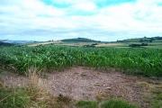 Maize in South Devon