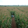 Red House Farm, The Maize Maze