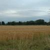 Wheat field, near Winwick, Warrington