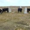 The Bulls of Calanais 2
