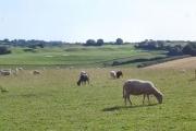 Devon sheep