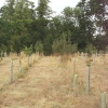 New trees in Thame Park