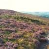 Sheep on the Long Ridge, Rombalds Moor