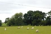 Swallows and sheep.