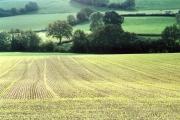 Cullompton: field of winter barley