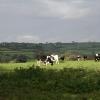 Cruwys Morchard: cattle in a field near Lythe-land