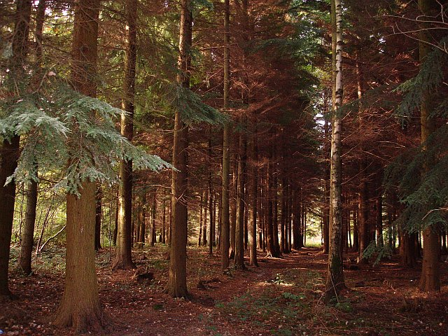 Path through the conifers