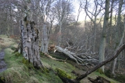 Fallen Giant, - the Beech Woods Above the Stanhope Burn