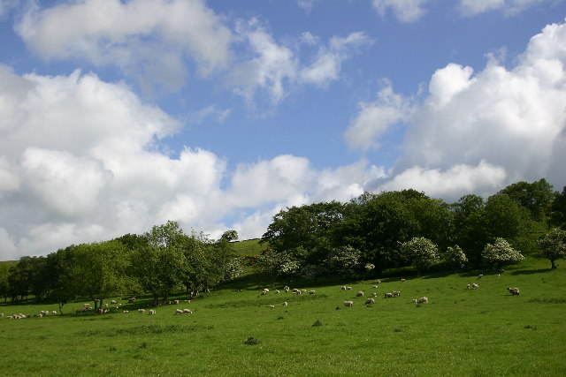 Sheep Grazing Above Baal Hill Wood, Wolsingham