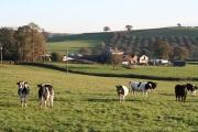 Silverton: cattle near Moorland