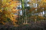 Broadclyst: Ashclyst Forest