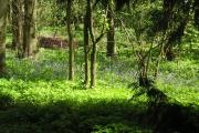 Rowley Wood Bluebells