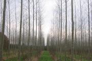 Poplars, Berrington.