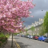 Cherry Blossom in the West End of Aberdeen