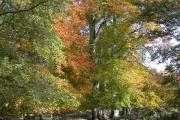 Beech trees near Felbrigg Hall