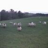 Zombie sheep!