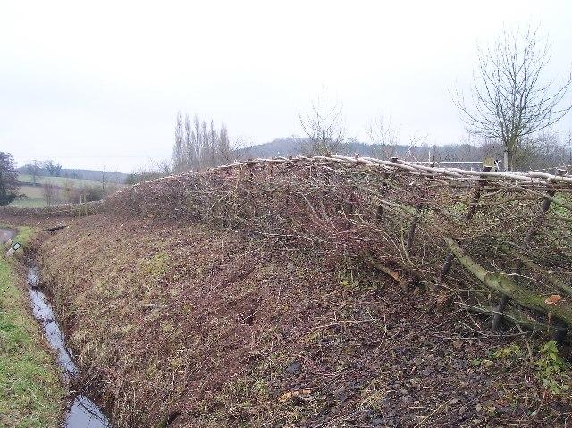 Newly-Laid Hedge, Catley Farms