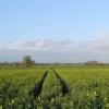 Oilseed Rape,  Wistow