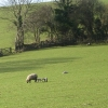 Sheep with early spring lambs