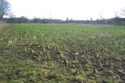 Beet Crop near Woozeley Bridge