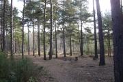 Woodland on Hawley Common, Hampshire