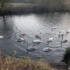 Swans of Avon
