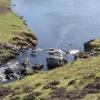 Sheep fording the Burn of Crookadale, Shetland