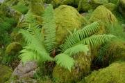 Fern in Wistman's Wood