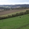 Cows on hillside, from Callows Hill