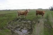 Heifers and Sheep