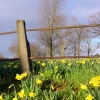 Daffodils on Horfield Common