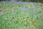 Squire Anderton's Wood - carpet of bluebells