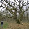 Oak on Marie Louise Ride, Savernake Forest