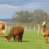 Alpacas at Ossory Farm